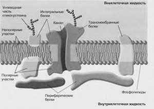Структура биологических мембран