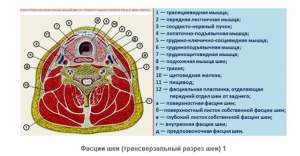 Топография фасций и клетчаточных пространств шеи