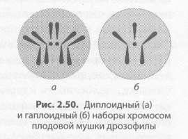 Число хромосом и их видовое постоянство. Соматические и половые клетки